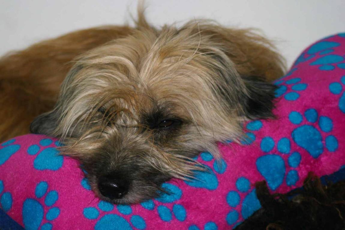 Van OCD naar CCD – De hond als model voor menselijk stereotype gedrag
